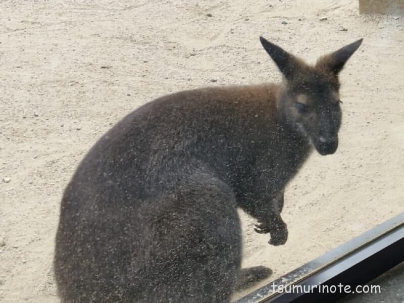 五月山動物園のワラビー