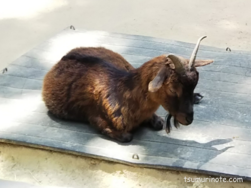 五月山動物園の山羊